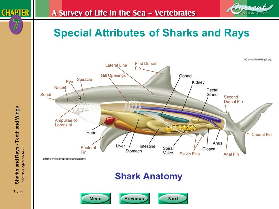 MenuPreviousNext 7 - 11 Special Attributes of Sharks and Rays Shark Anatomy Sharks and Rays - Teeth and Wings Chapter 7 Pages 7-5 to 7-8