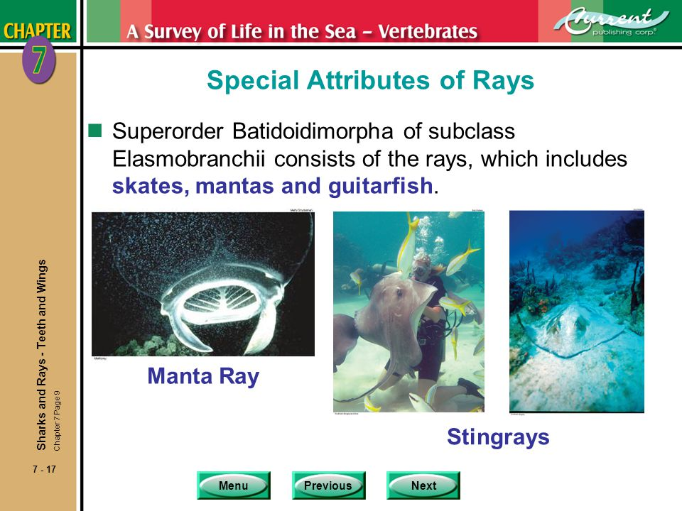 MenuPreviousNext 7 - 17 Special Attributes of Rays nSuperorder Batidoidimorpha of subclass Elasmobranchii consists of the rays, which includes skates,