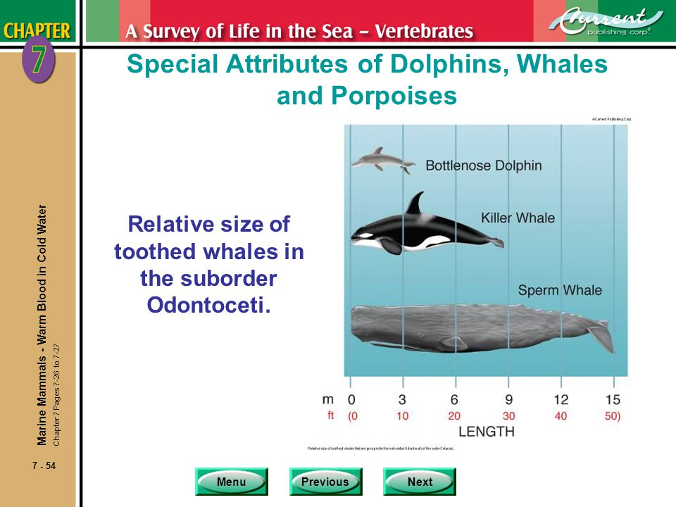 MenuPreviousNext 7 - 54 Special Attributes of Dolphins, Whales and Porpoises Relative size of toothed whales in the suborder Odontoceti. Marine Mammal