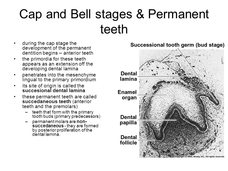 Cap and Bell stages & Permanent teeth during the cap stage the development of the permanent dentition begins – anterior teeth the primordia for these