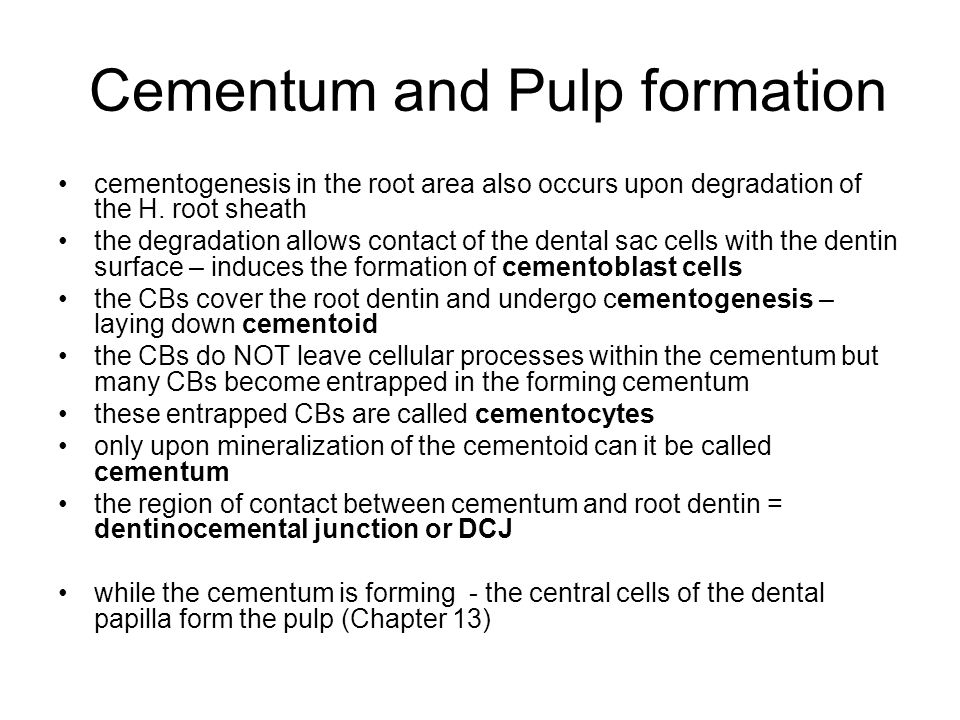 Cementum and Pulp formation cementogenesis in the root area also occurs upon degradation of the H. root sheath the degradation allows contact of the d