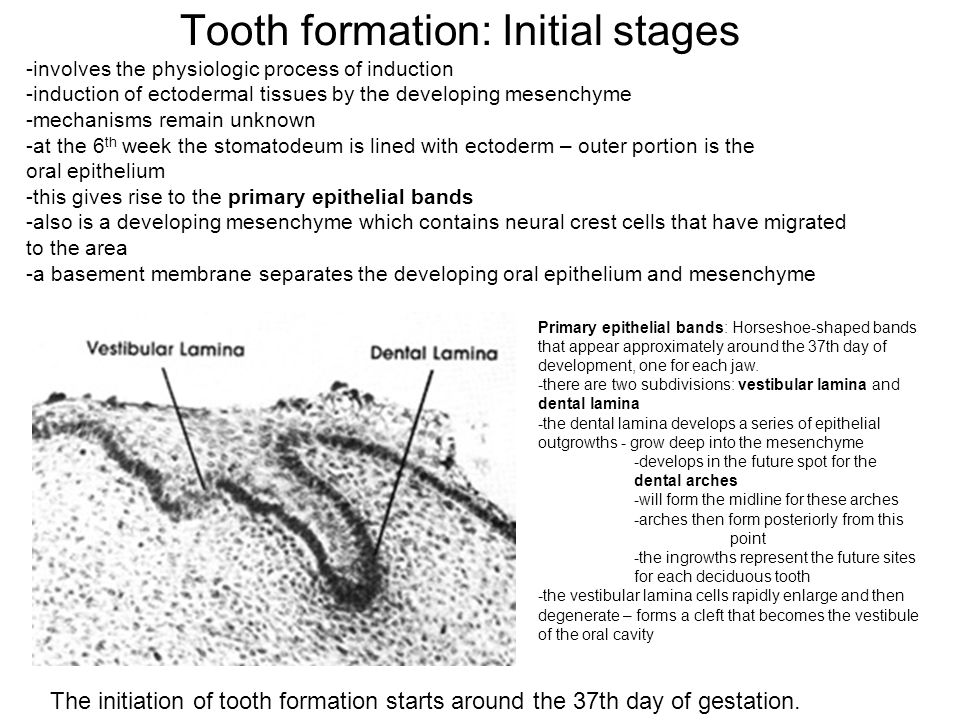 Bud Stage marked by the incursion of epithelium into the mesenchyme period of extensive proliferation and growth of the dental lamina forms into buds or oral masses that penetrate into the mesenchyme each tooth bud is surrounded by the mesenchyme buds + mesenchyme develop into the tooth germ and the associated tissues of the tooth this developing tooth forms from both the ectoderm and mesenchyme and from neural crest cells that have migrated into the mesenchyme 1.Tooth bud 2.Oral epithelium 3.Mesenchyme