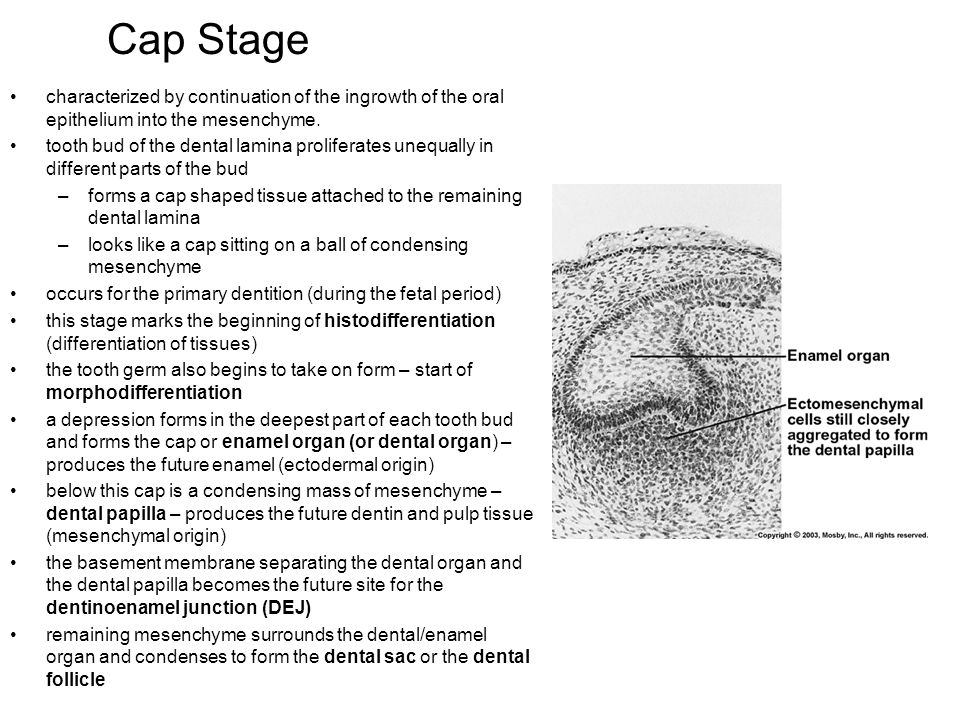 At 1 the epithelium is separated from the dental papilla by an acellular zone.