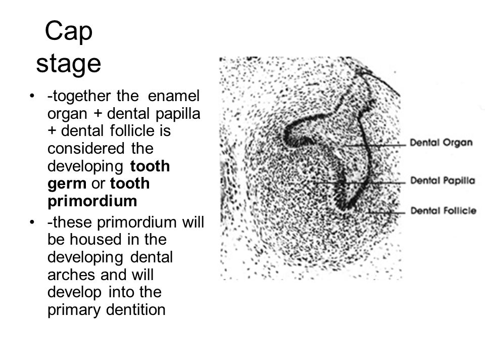 Cap stage -together the enamel organ + dental papilla + dental follicle is considered the developing tooth germ or tooth primordium -these primordium