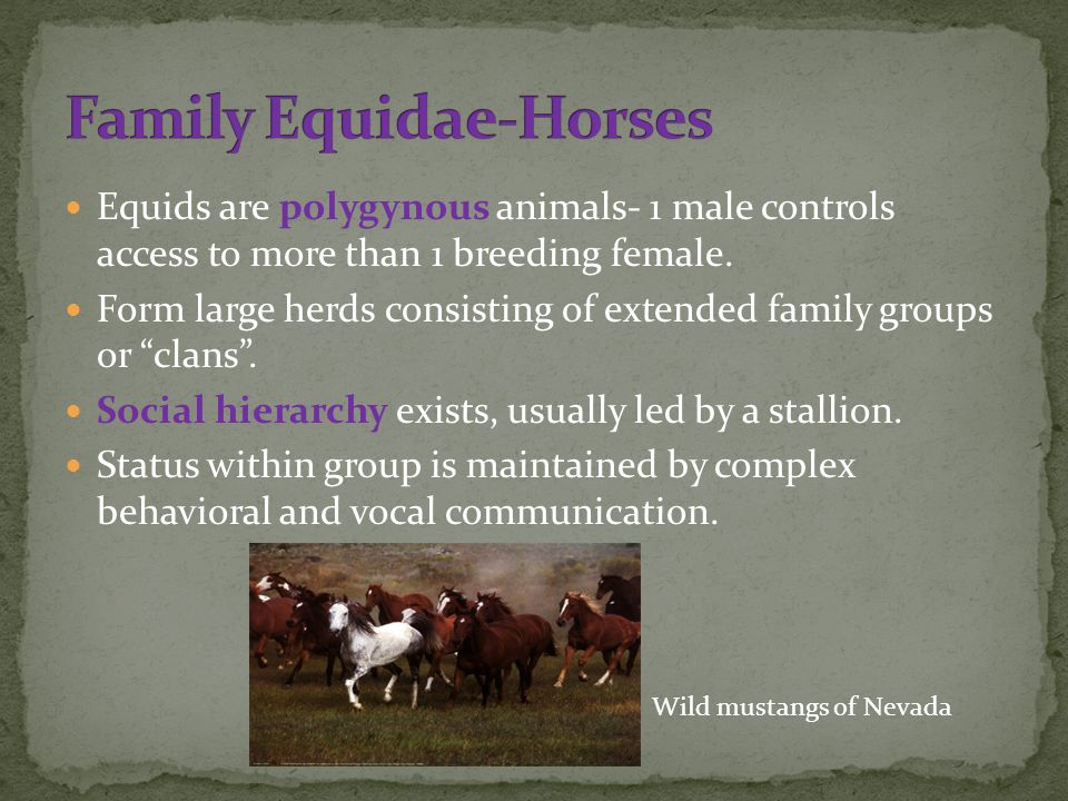 Equids are polygynous animals- 1 male controls access to more than 1 breeding female.