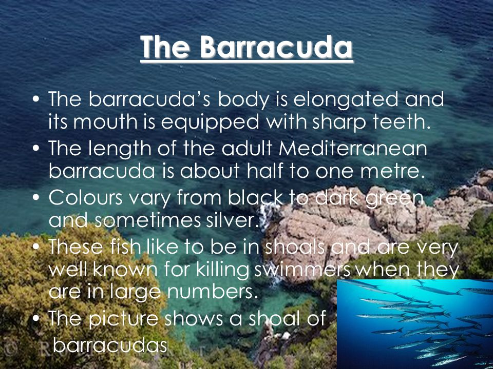 The Barracuda The barracudas body is elongated and its mouth is equipped with sharp teeth.