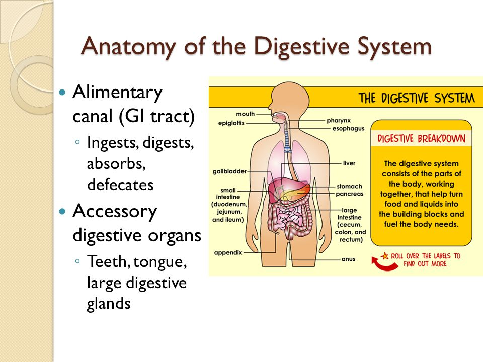 Anatomy of the Digestive System Alimentary canal (GI tract) Ingests, digests, absorbs, defecates Accessory digestive organs Teeth, tongue, large diges