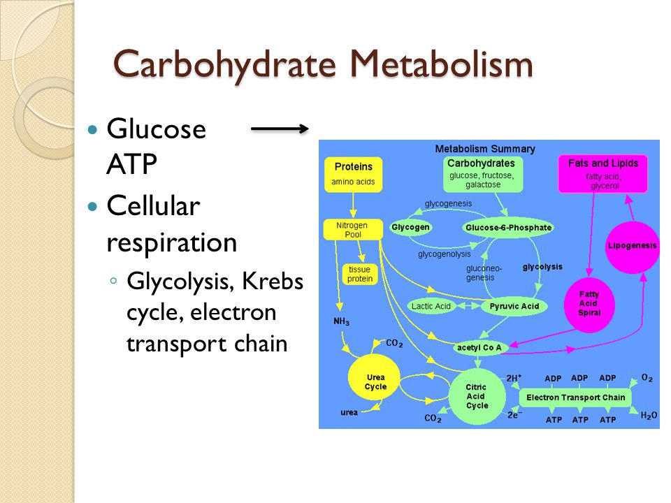 Carbohydrate Metabolism Glucose ATP Cellular respiration Glycolysis, Krebs cycle, electron transport chain
