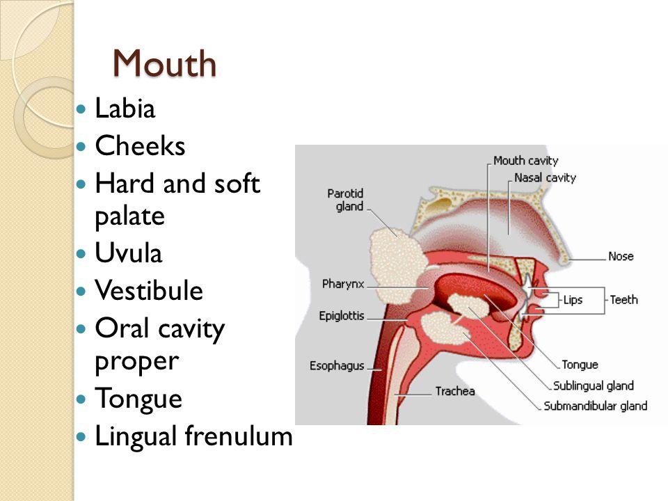 Accessory Digestive Organs Teeth Masticate Deciduous teeth Permanent teeth Incisors Canines Premolars (bicuspids) Molars