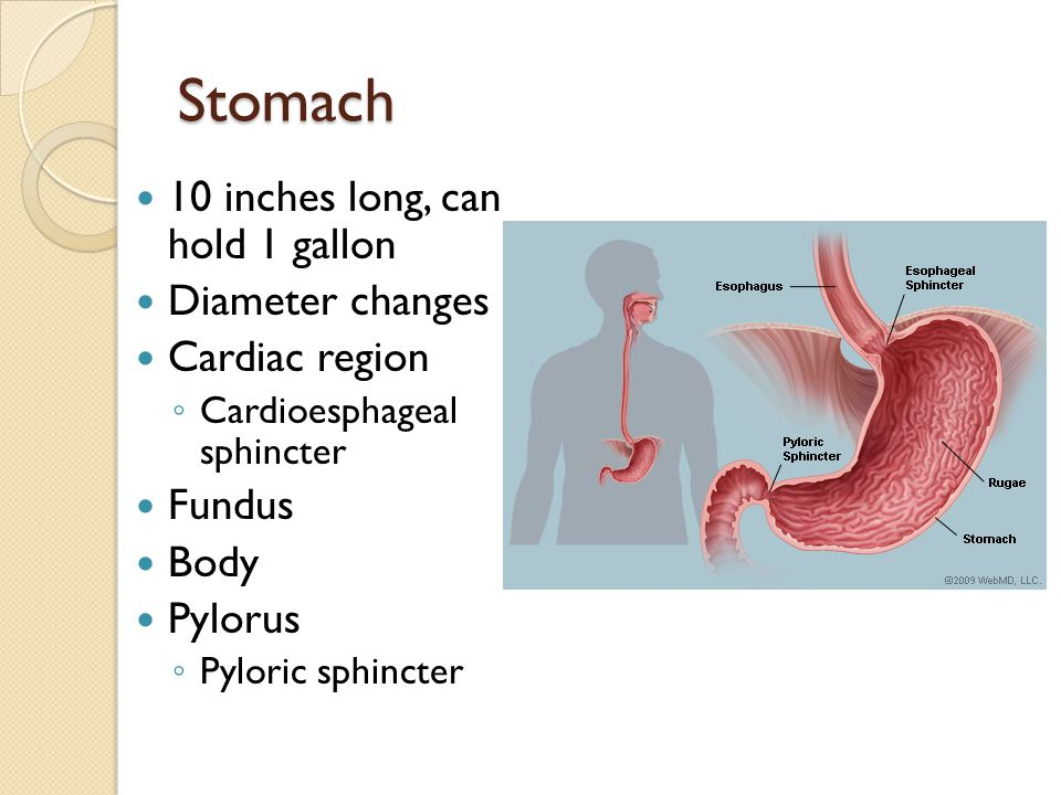 Stomach 10 inches long, can hold 1 gallon Diameter changes Cardiac region Cardioesphageal sphincter Fundus Body Pylorus Pyloric sphincter