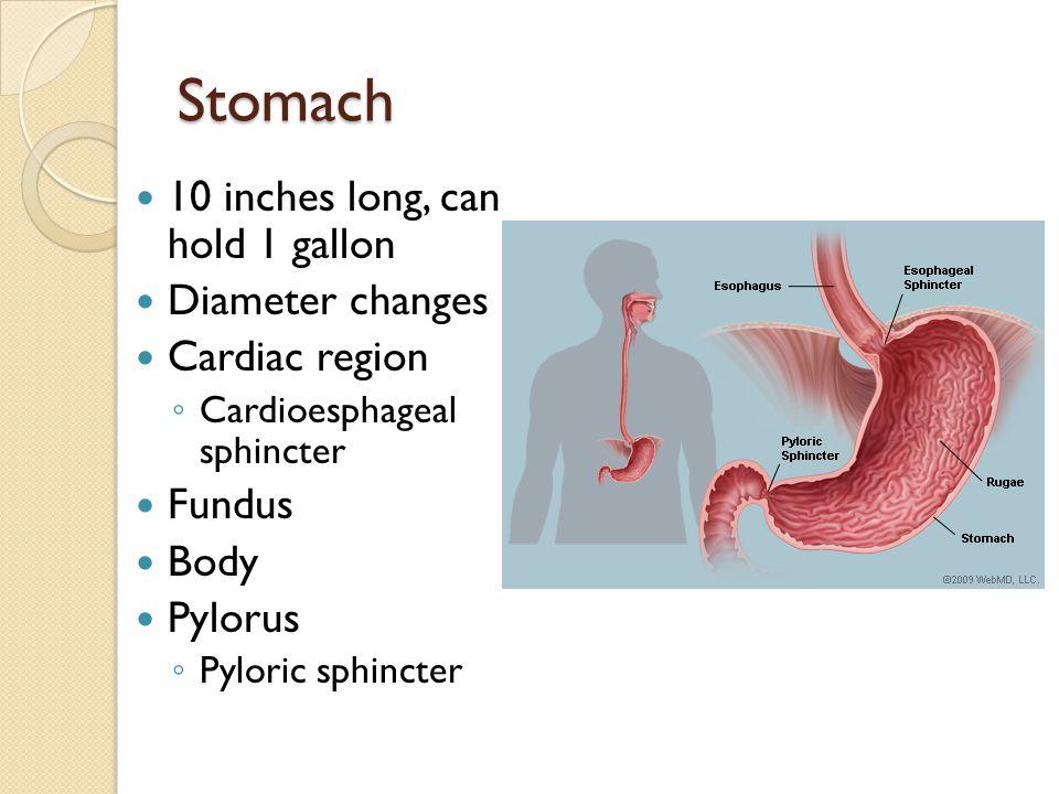 Stomach Rugae Greater curvature Lesser curvature Lesser omentum Greater omentum