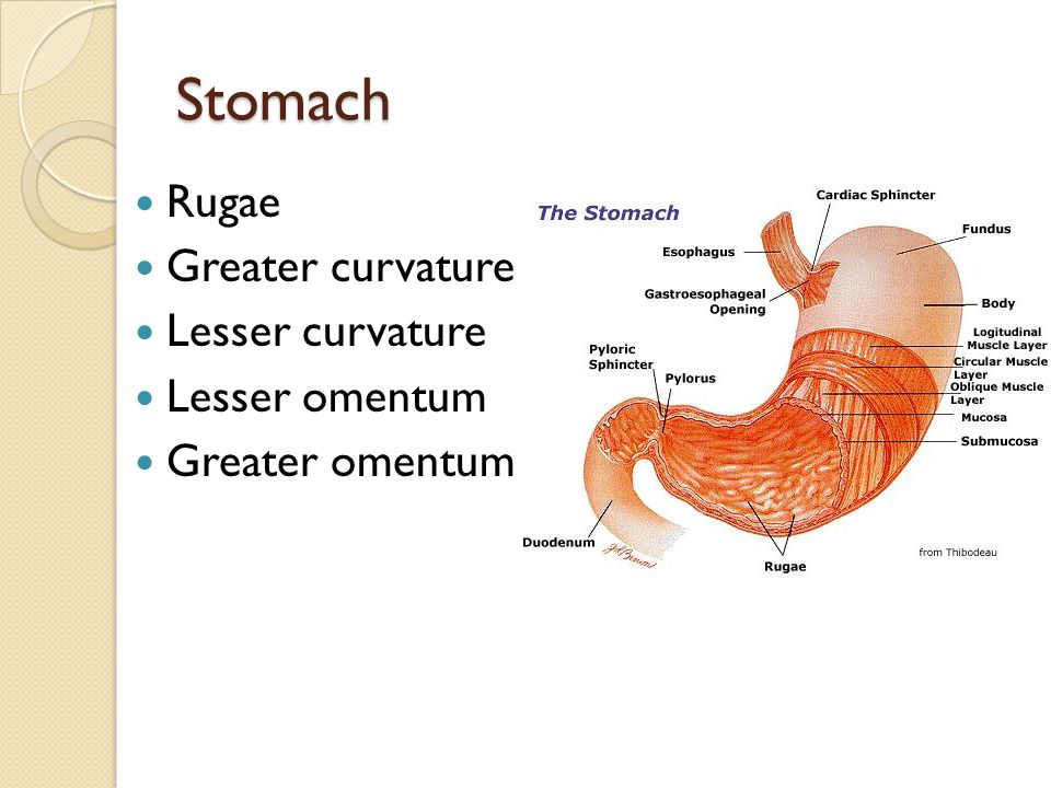 Stomach Rugae Greater curvature Lesser curvature Lesser omentum Greater omentum
