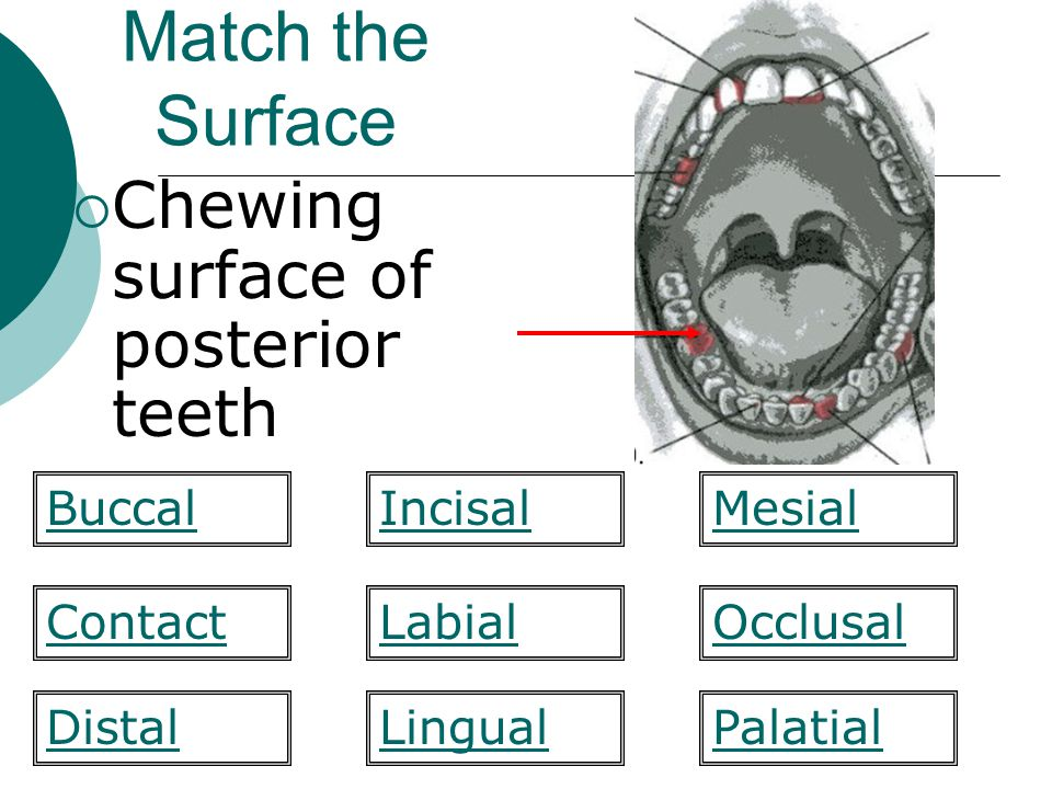 Match the Surface Chewing surface of posterior teeth Labial Mesial ContactOcclusal PalatialDistal BuccalIncisal Lingual