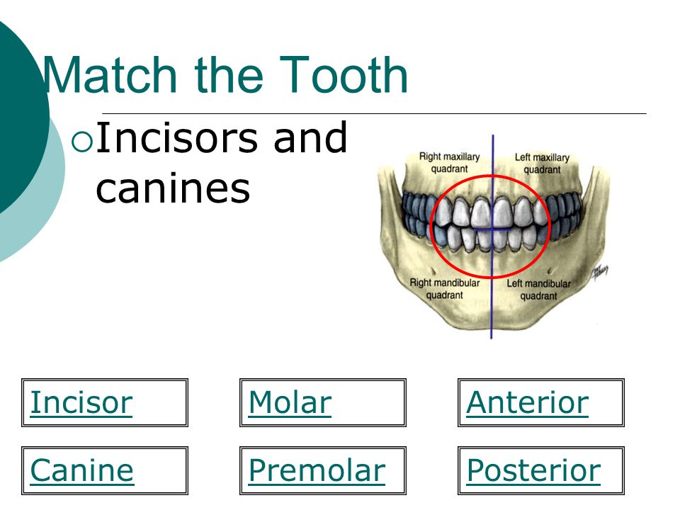 Match the Tooth Incisors and canines MolarIncisorAnterior PosteriorCaninePremolar