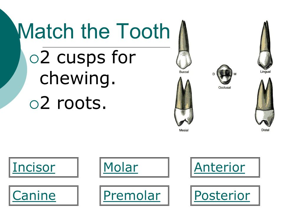 Match the Tooth 2 cusps for chewing. 2 roots. MolarIncisorAnterior PosteriorCaninePremolar