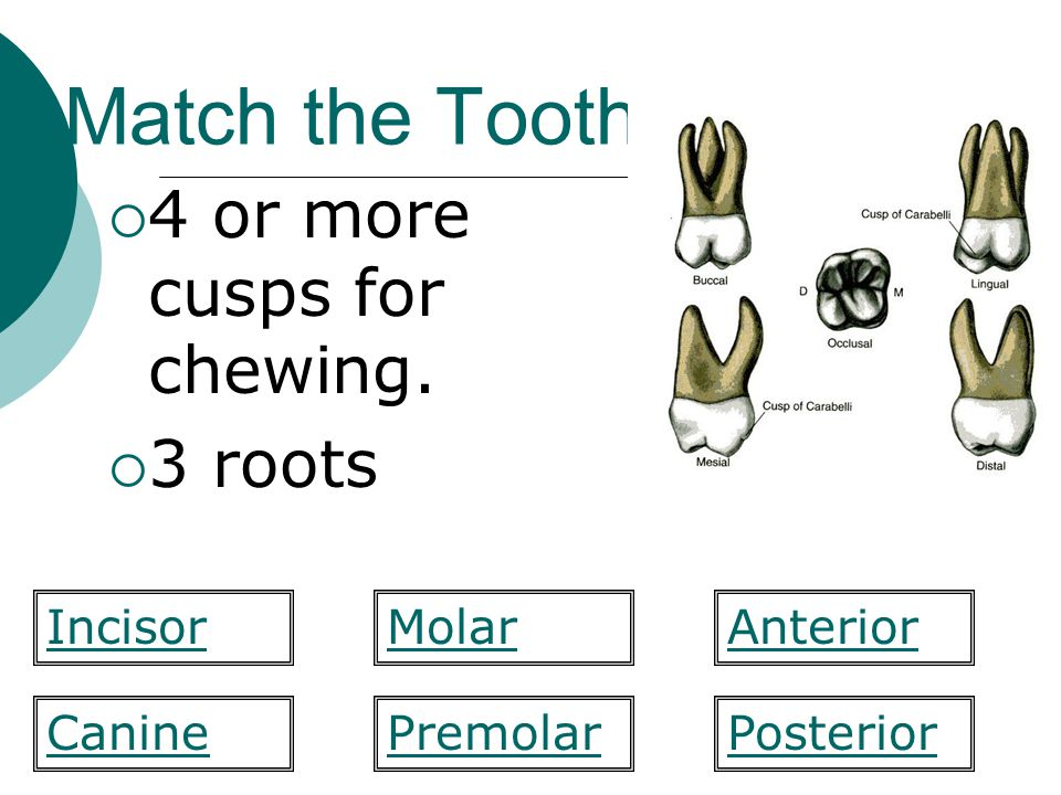 Match the Tooth 4 or more cusps for chewing. 3 roots MolarIncisorAnterior PosteriorCaninePremolar