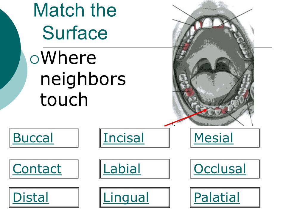 Match the Surface Where neighbors touch Labial Mesial ContactOcclusal PalatialDistal BuccalIncisal Lingual