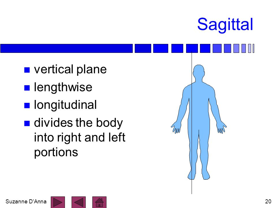 Suzanne D'Anna20 Sagittal n vertical plane n lengthwise n longitudinal n divides the body into right and left portions