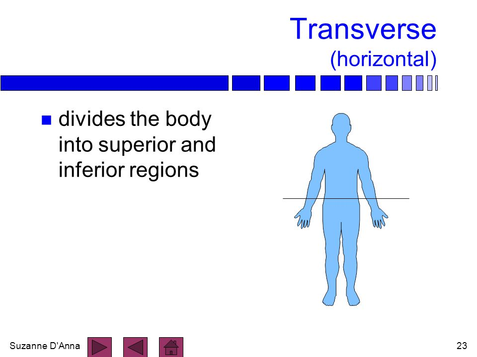 Suzanne D'Anna23 Transverse (horizontal) n divides the body into superior and inferior regions