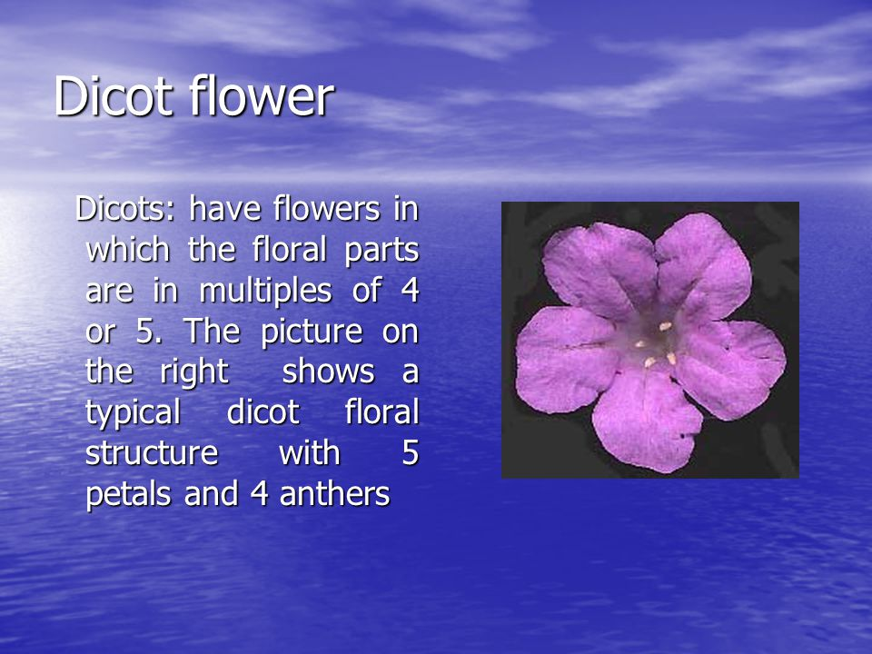Dicot flower Dicots: have flowers in which the floral parts are in multiples of 4 or 5. The picture on the right shows a typical dicot floral structur