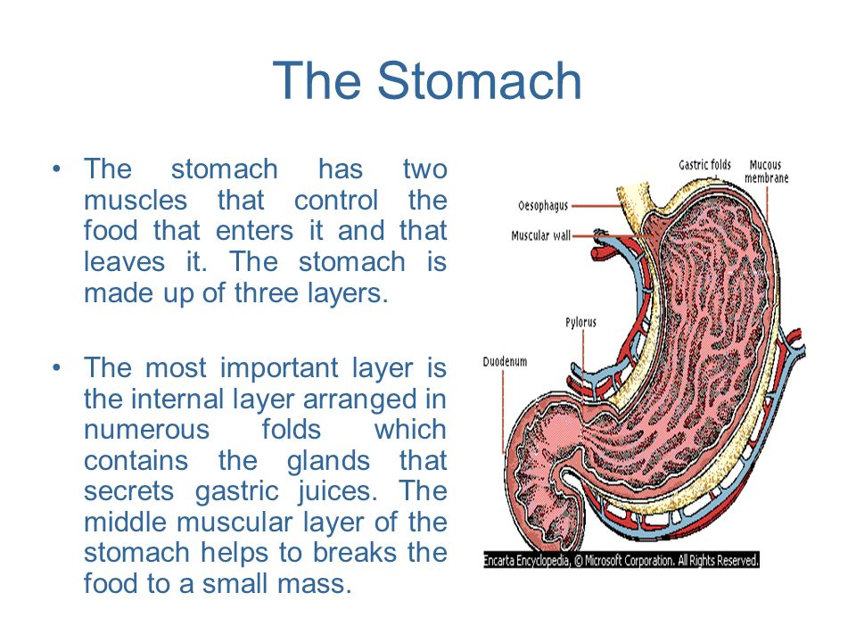 The Stomach The stomach has two muscles that control the food that enters it and that leaves it. The stomach is made up of three layers. The most impo