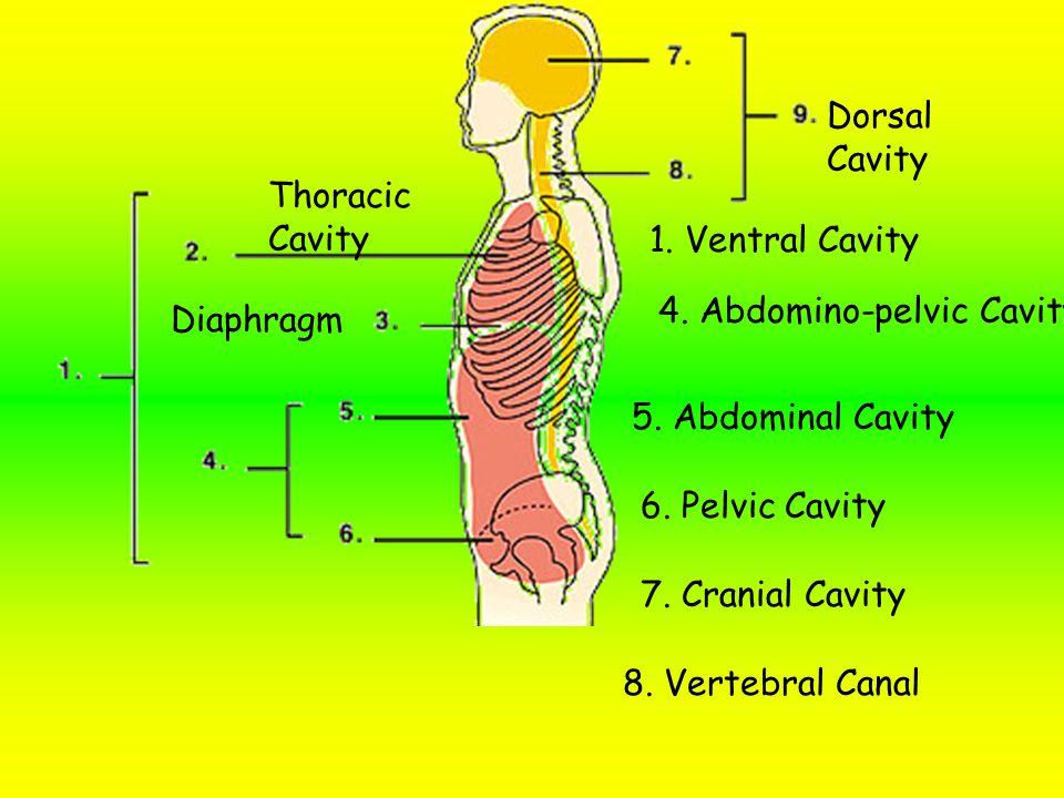 1.Abdomino-Pelvic cavity 5. Mediastinum 2. Pericardial cavity 3.
