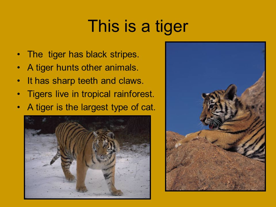 This is a tiger The tiger has black stripes. A tiger hunts other animals. It has sharp teeth and claws. Tigers live in tropical rainforest. A tiger is