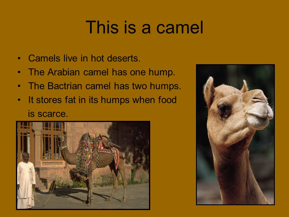 This is a camel Camels live in hot deserts. The Arabian camel has one hump. The Bactrian camel has two humps. It stores fat in its humps when food is