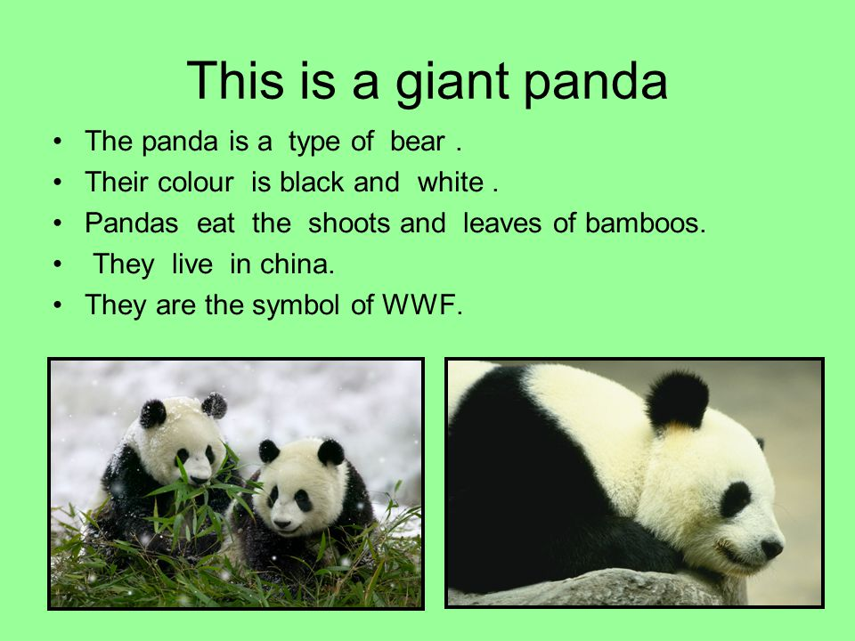 This is a giant panda The panda is a type of bear. Their colour is black and white. Pandas eat the shoots and leaves of bamboos. They live in china. T