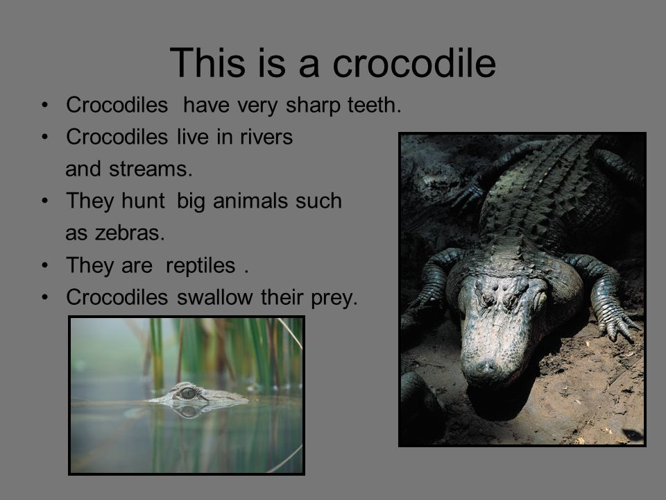 This is a crocodile Crocodiles have very sharp teeth. Crocodiles live in rivers and streams. They hunt big animals such as zebras. They are reptiles.