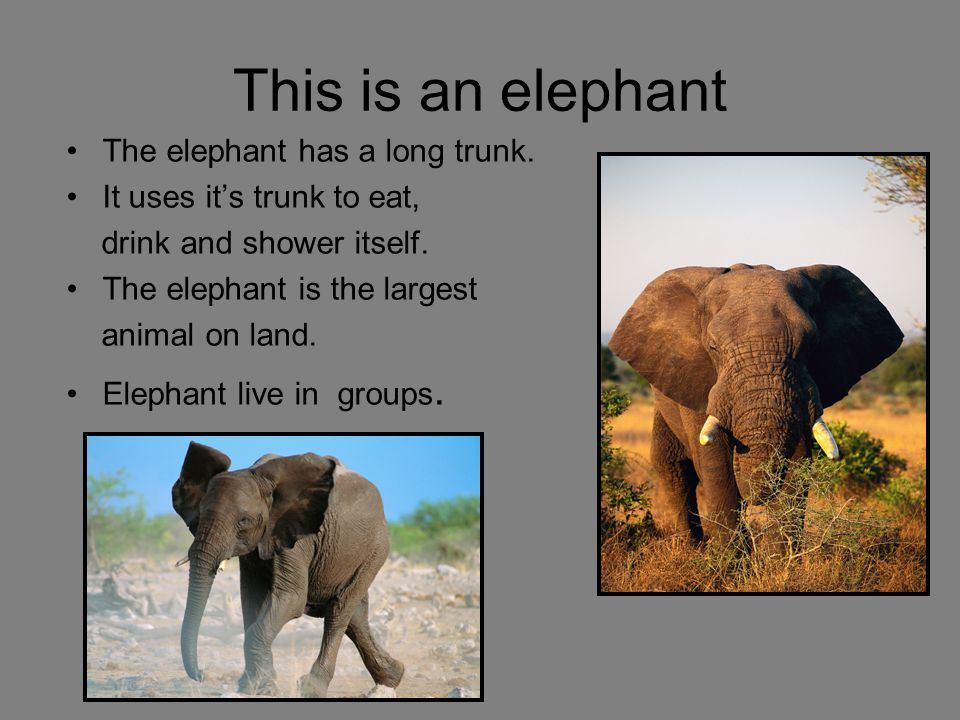 This is an elephant The elephant has a long trunk. It uses its trunk to eat, drink and shower itself. The elephant is the largest animal on land. Elep