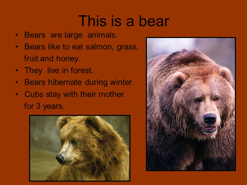 This is a bear Bears are large animals. Bears like to eat salmon, grass, fruit and honey. They live in forest. Bears hibernate during winter. Cubs sta