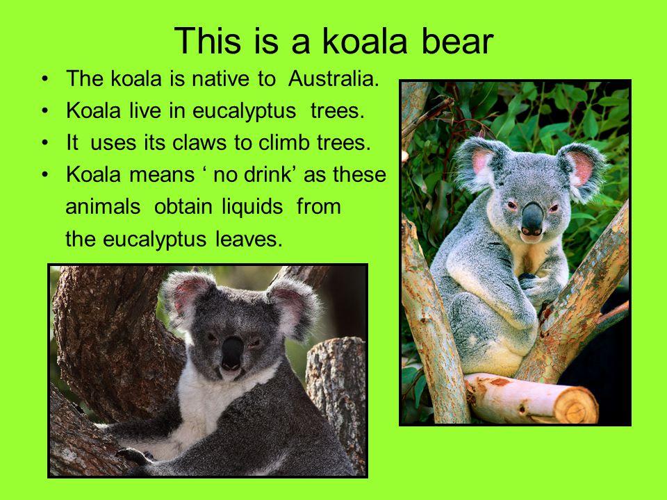 This is a koala bear The koala is native to Australia. Koala live in eucalyptus trees. It uses its claws to climb trees. Koala means no drink as these