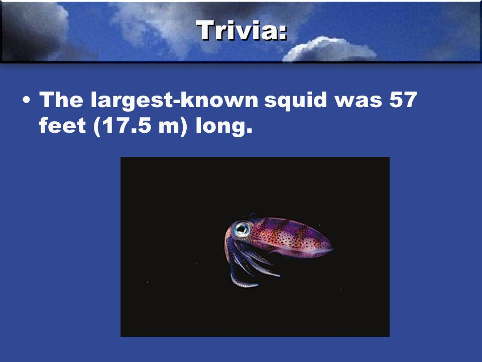Trivia: The largest-known squid was 57 feet (17.5 m) long.