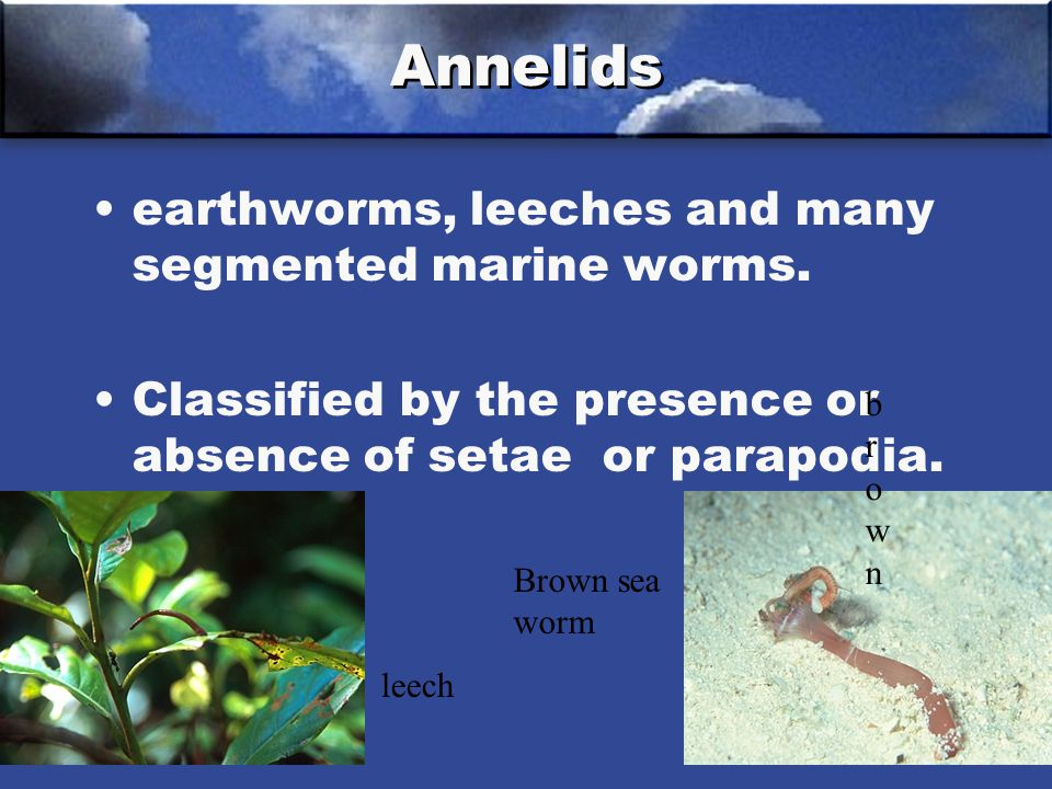 earthworms, leeches and many segmented marine worms.