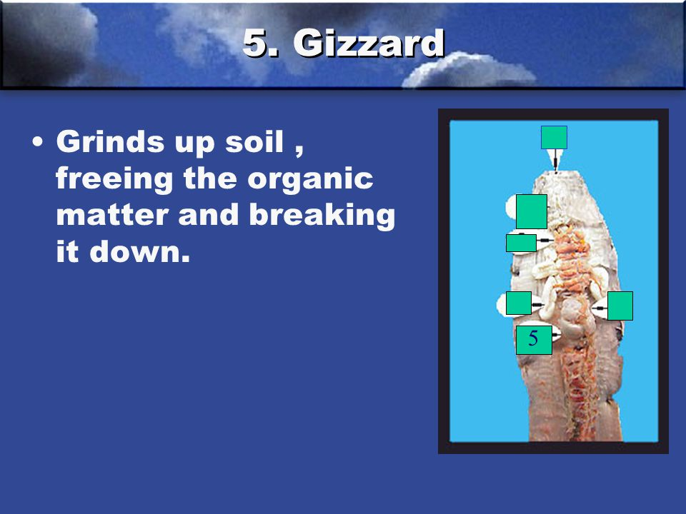 5. Gizzard Grinds up soil, freeing the organic matter and breaking it down. 5