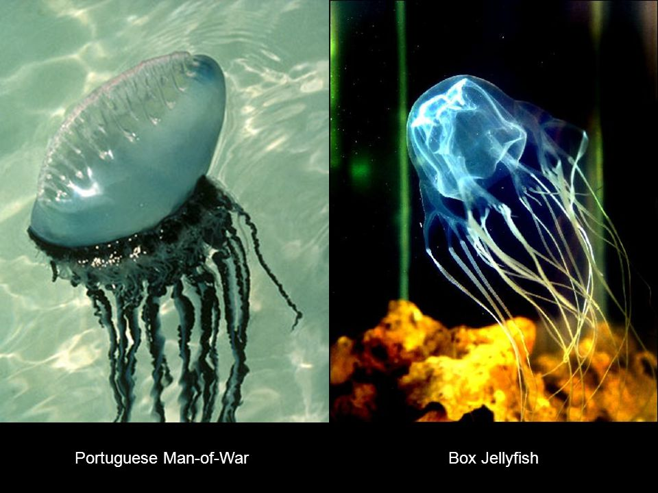 Portuguese Man-of-WarBox Jellyfish
