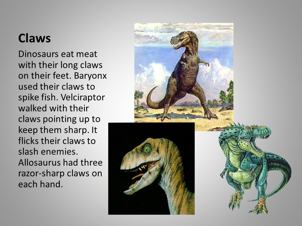 Claws Dinosaurs eat meat with their long claws on their feet. Baryonx used their claws to spike fish. Velciraptor walked with their claws pointing up