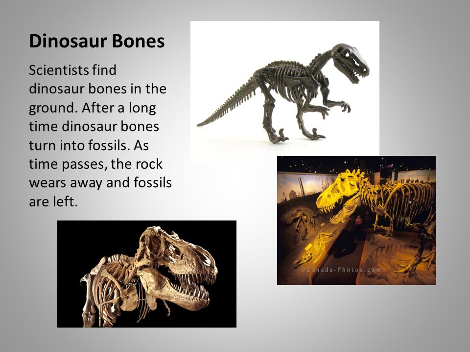 Dinosaur Bones Scientists find dinosaur bones in the ground. After a long time dinosaur bones turn into fossils. As time passes, the rock wears away a