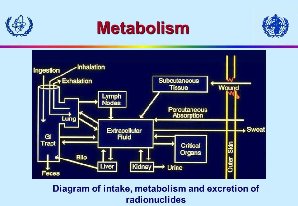 Diagram of intake, metabolism and excretion of radionuclides Metabolism