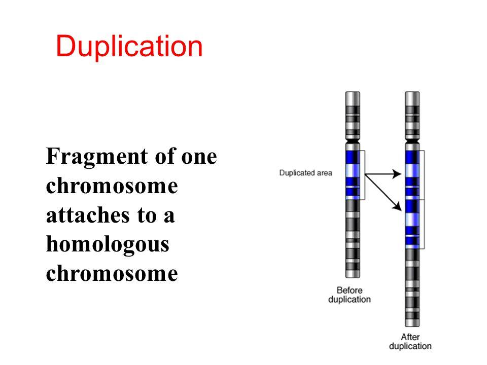 Duplication Fragment of one chromosome attaches to a homologous chromosome