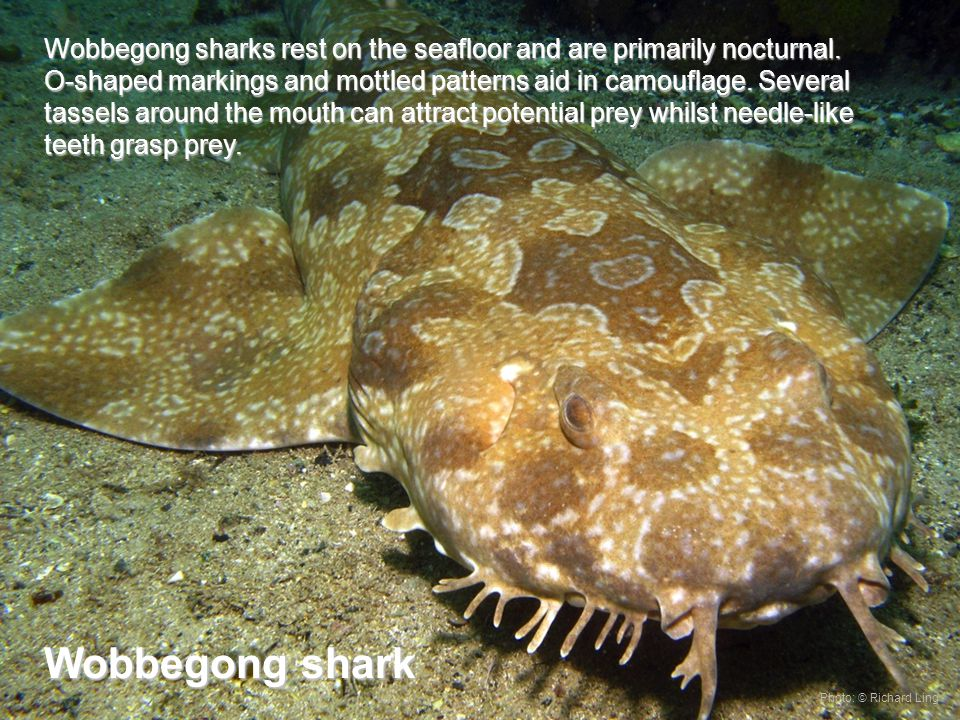 Wobbegong sharks rest on the seafloor and are primarily nocturnal.
