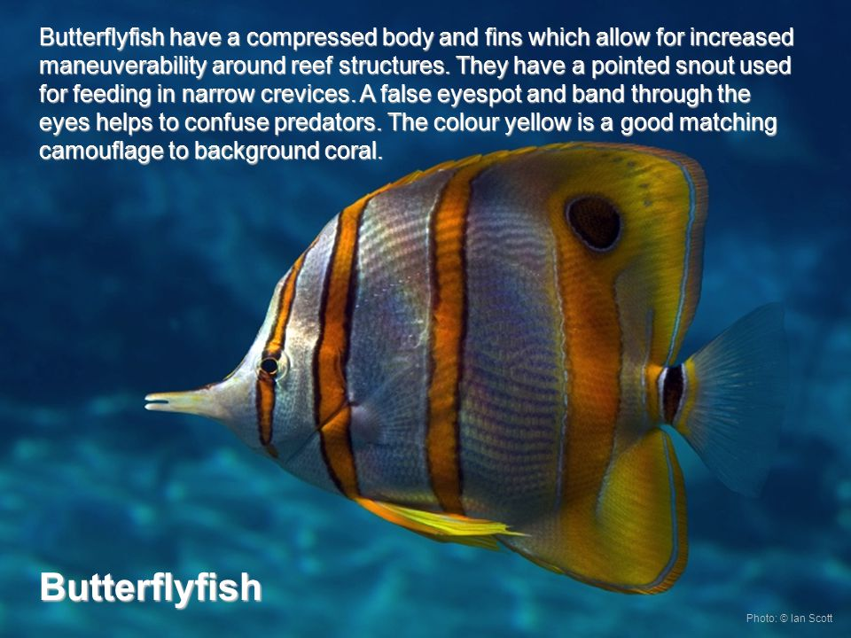 Butterflyfish have a compressed body and fins which allow for increased maneuverability around reef structures.