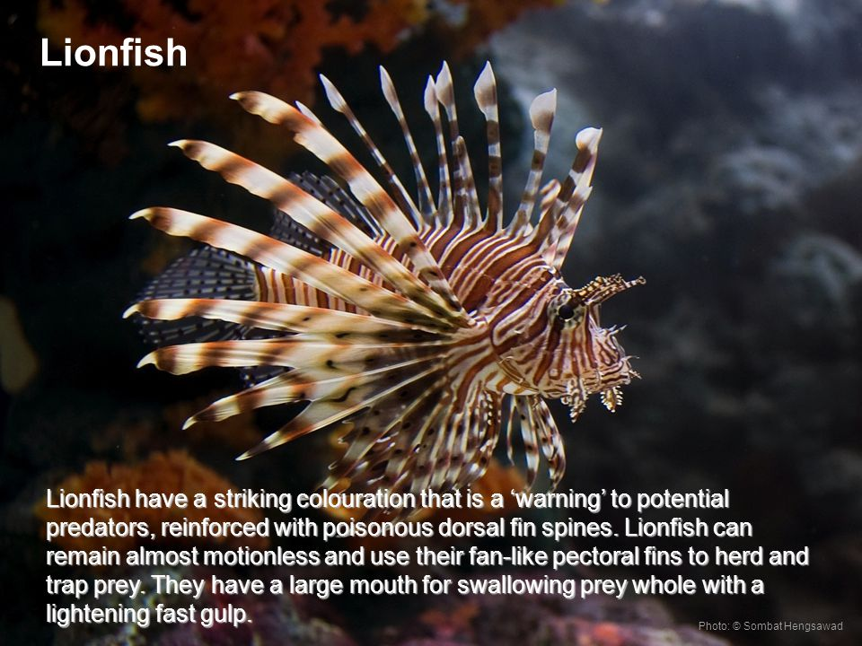 Lionfish have a striking colouration that is a warning to potential predators, reinforced with poisonous dorsal fin spines.