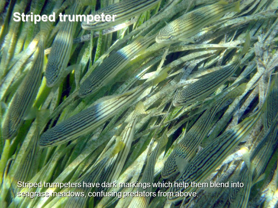 Striped trumpeters have dark markings which help them blend into seagrass meadows, confusing predators from above.
