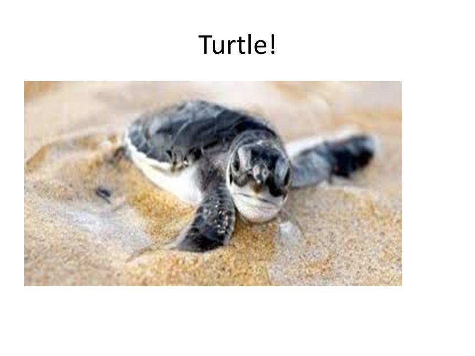 2 turtles!