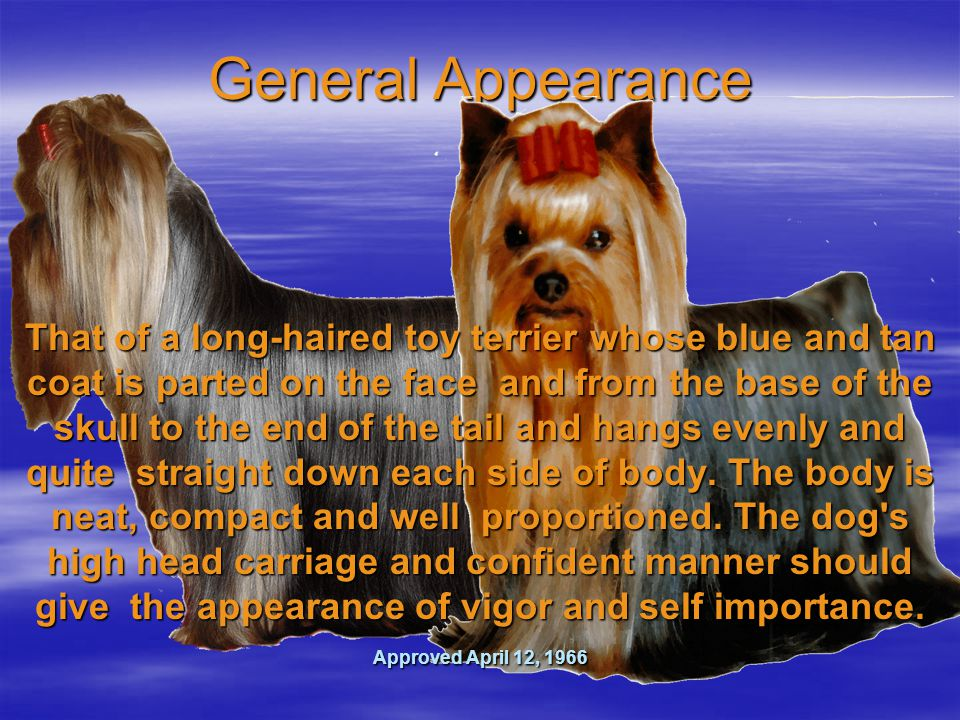 General Appearance That of a long-haired toy terrier whose blue and tan coat is parted on the face and from the base of the skull to the end of the tail and hangs evenly and quite straight down each side of body.