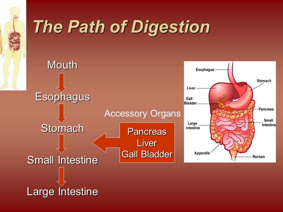 The Path of Digestion The Path of Digestion MouthEsophagusStomach Small Intestine Large Intestine PancreasLiver Gall Bladder Accessory Organs