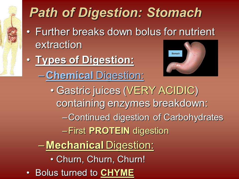 Path of Digestion: Stomach Path of Digestion: Stomach Further breaks down bolus for nutrient extractionFurther breaks down bolus for nutrient extraction Types of Digestion:Types of Digestion: –Chemical Digestion: Gastric juices (VERY ACIDIC) containing enzymes breakdown:Gastric juices (VERY ACIDIC) containing enzymes breakdown: –Continued digestion of Carbohydrates –First PROTEIN digestion –Mechanical Digestion: Churn, Churn, Churn!Churn, Churn, Churn.