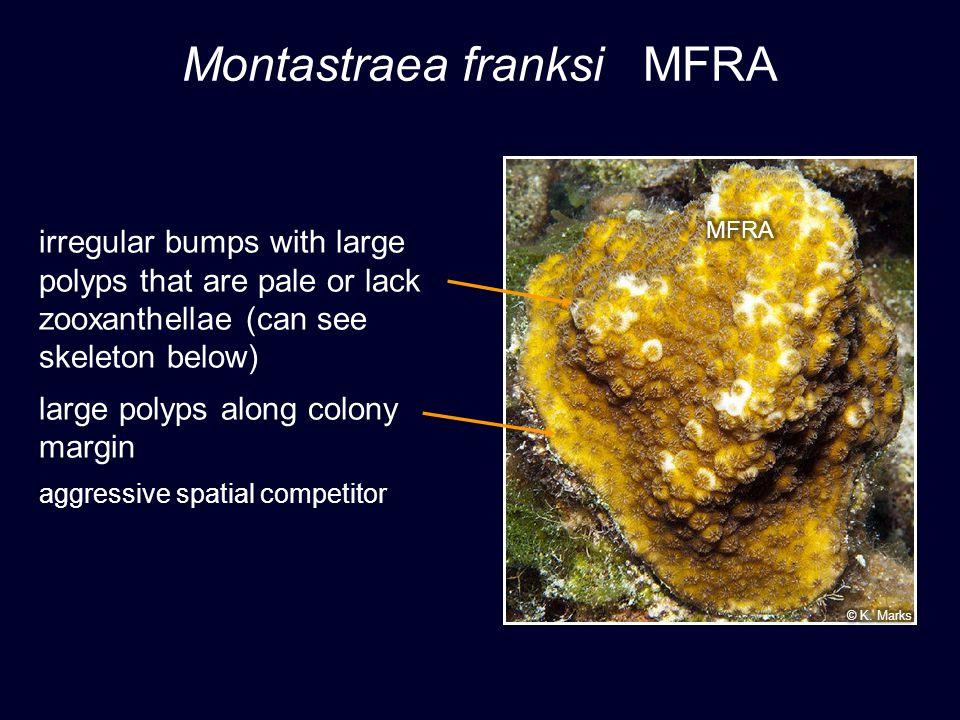 Montastraea franksi MFRA © P.